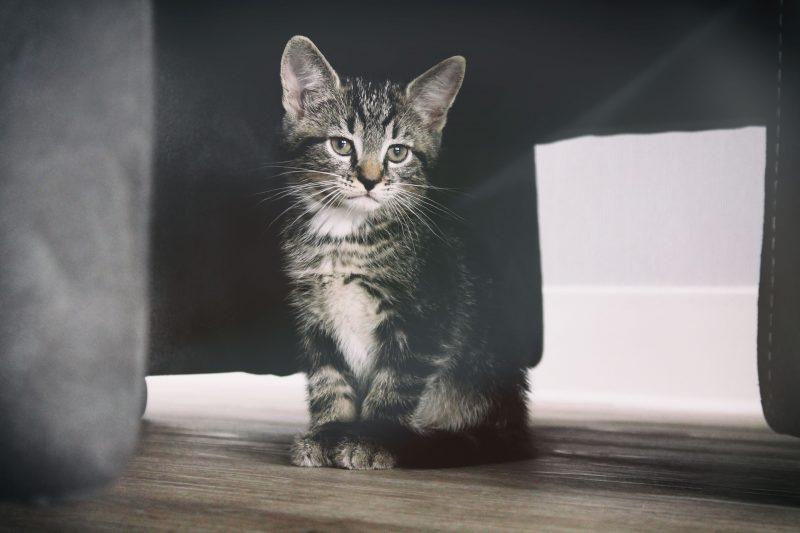 gray kitten